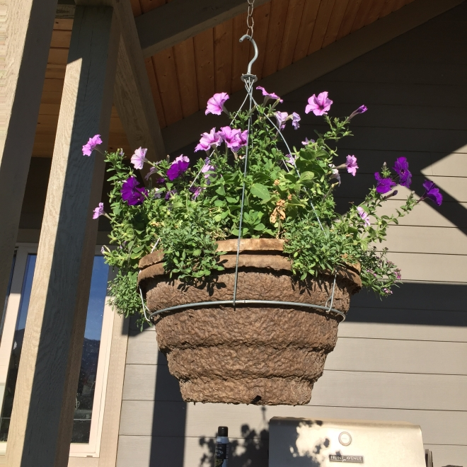Heirloom Petunias